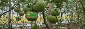 support net installed on tomato crops