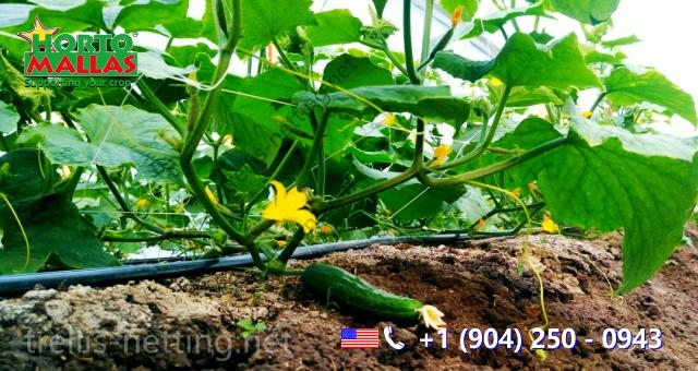 view of Cucumbers crop training base  with trellis netting system