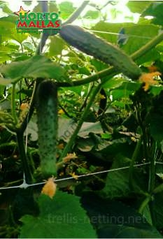 Cucumbers growing vertical on plastic trellis netting hortomallas