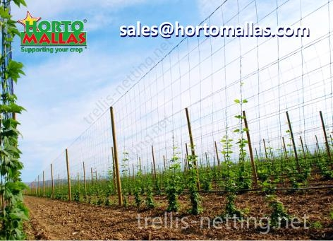 Hop production in low trellis netting training system instead of raffia string