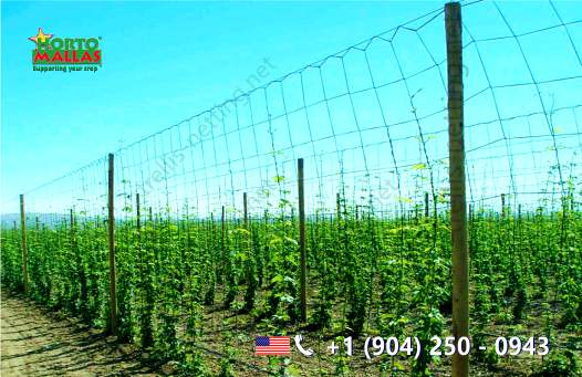 Hop production plot with trellis netting for tomato trellising