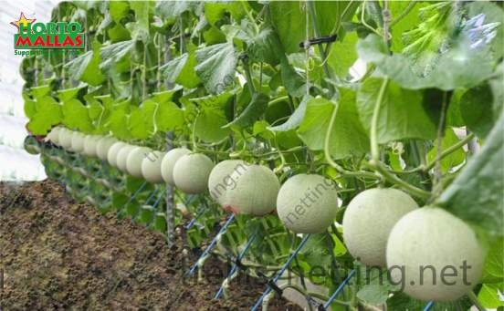 Hydroponic melons production supported with trellis net