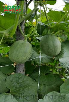 Melons held by trellis netting on cultivation