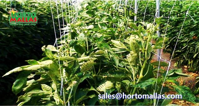 Pepper production with net for trellising training system hortomallas