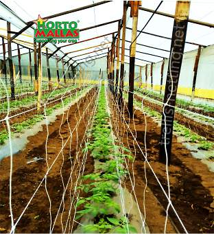 Tomato crop in greenhouse training with trellis netting