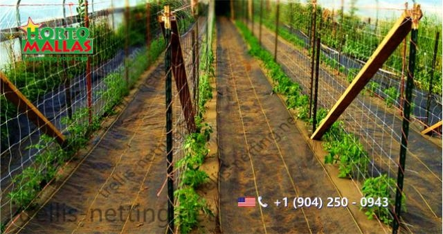 Tomato crop on greenhouse with trellis netting training system